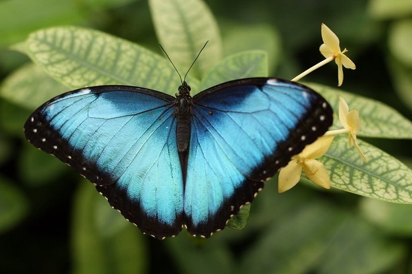 farfalla CC